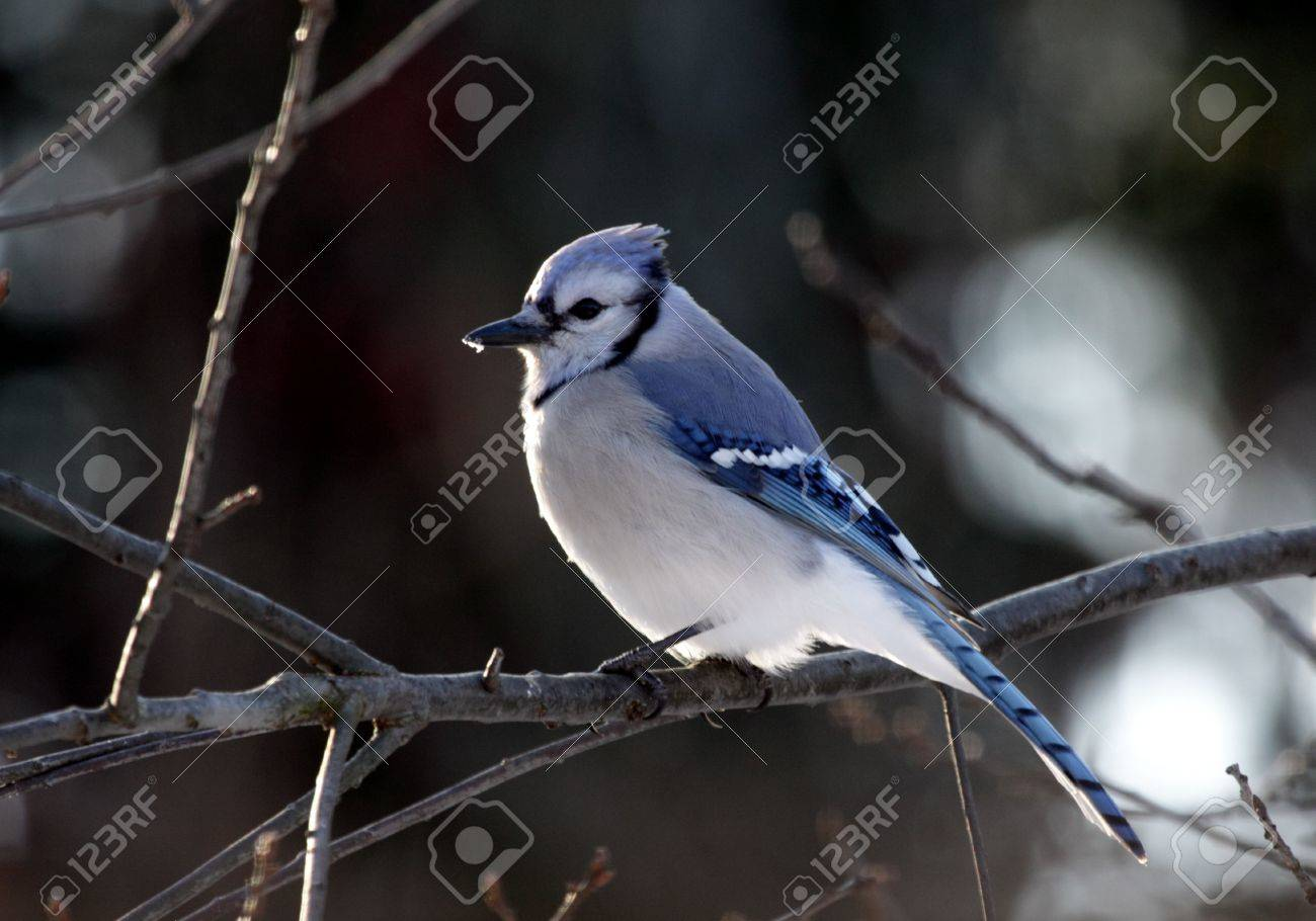 A blue jay (Cyanocitta cristata) perched on a branch. Stock Photo - 6560479