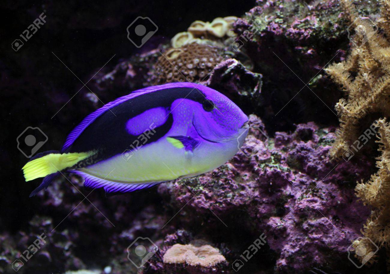 A Regal Tang ( Paracanthurus hepatus ) swimming, near some coral. - 11429634