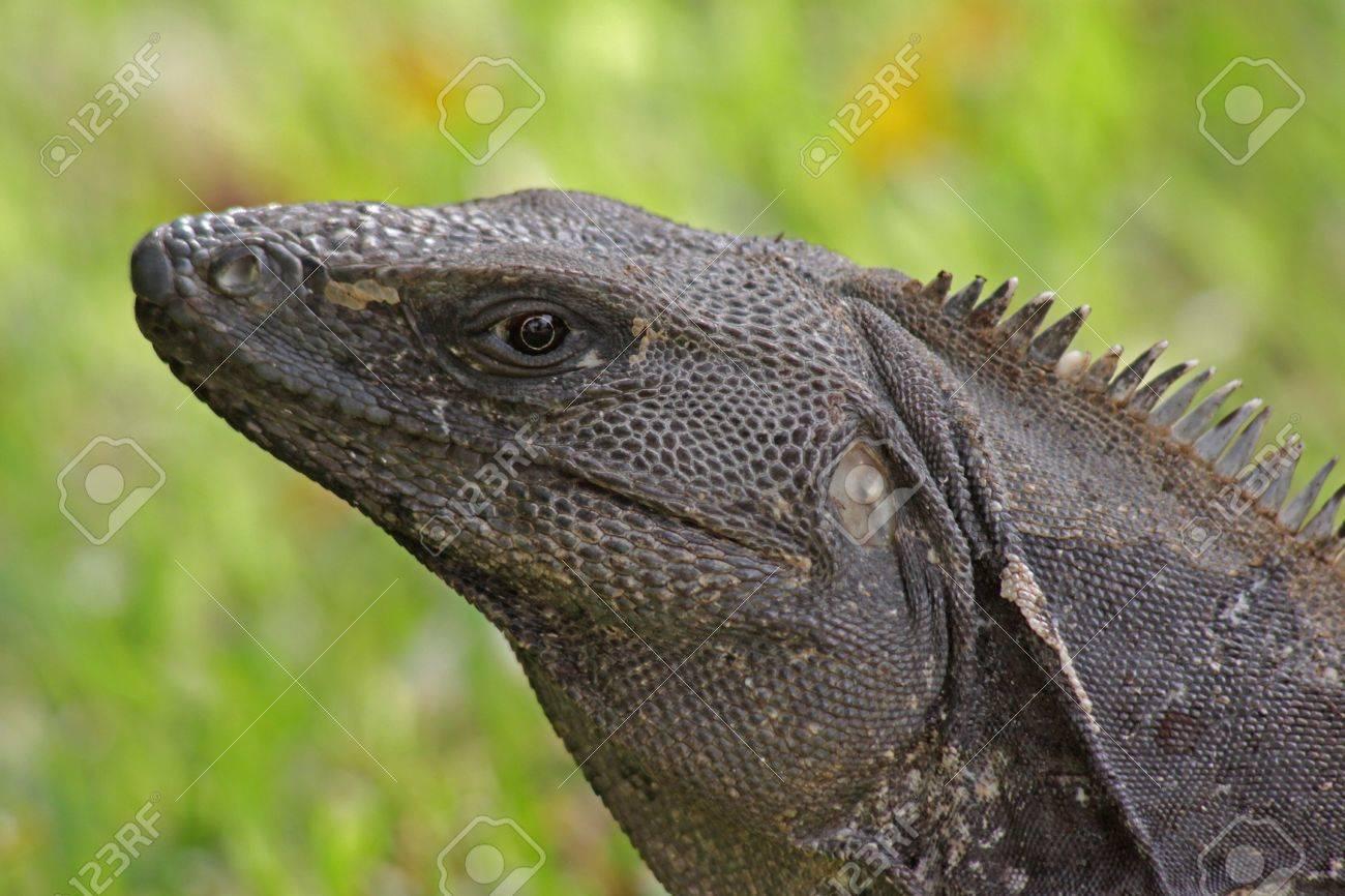 Que   suis-je  ajonc  - 15 septembre   14648709-un-portrait-d-un-iguane-noir-ctenosaura-similis-tourn%C3%A9-sur-la-riviera-maya-au-mexique-