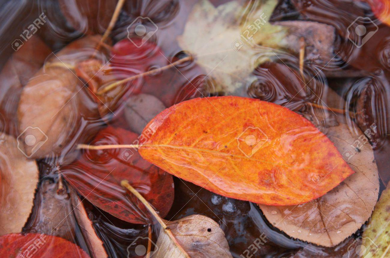 The orange leaf of a Serviceberry tree (Amelanchier) in fall, sitting in a puddle of water with other leaves. Stock Photo - 17571854