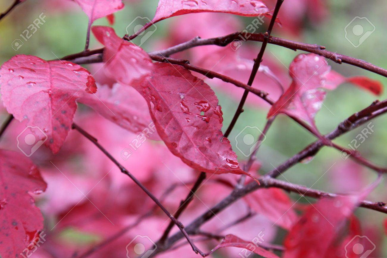 The Leaves Of A Purple Leaf Sand Cherry Prunus Cistena Shot Stock Photo Picture And Royalty Free Image Image 17992802