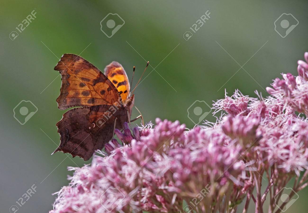 花のように給餌疑問符蝶 (ギモンフタテハ)。 キッチナー、オンタリオ州 ...