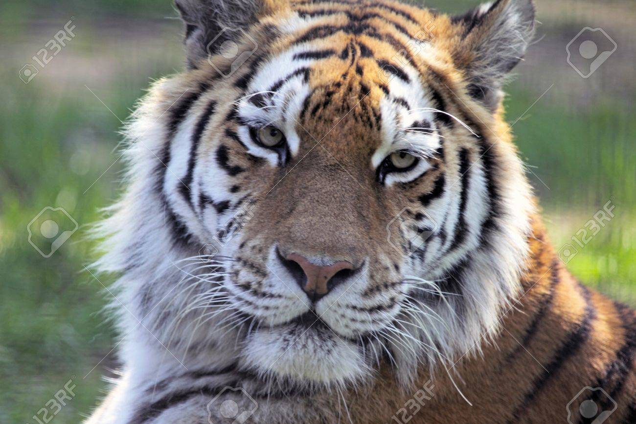 Siberian tiger looking directly at the camera Stock Photo - 7786637