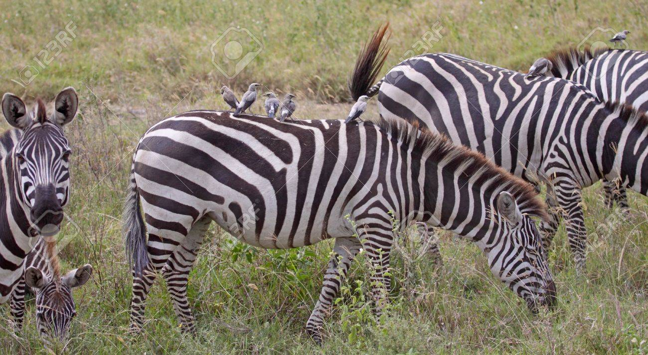 Small group of oxpeckers hitching a ride on the back of a zebra in the Serengeti national park,Tanzania Stock Photo - 7786920
