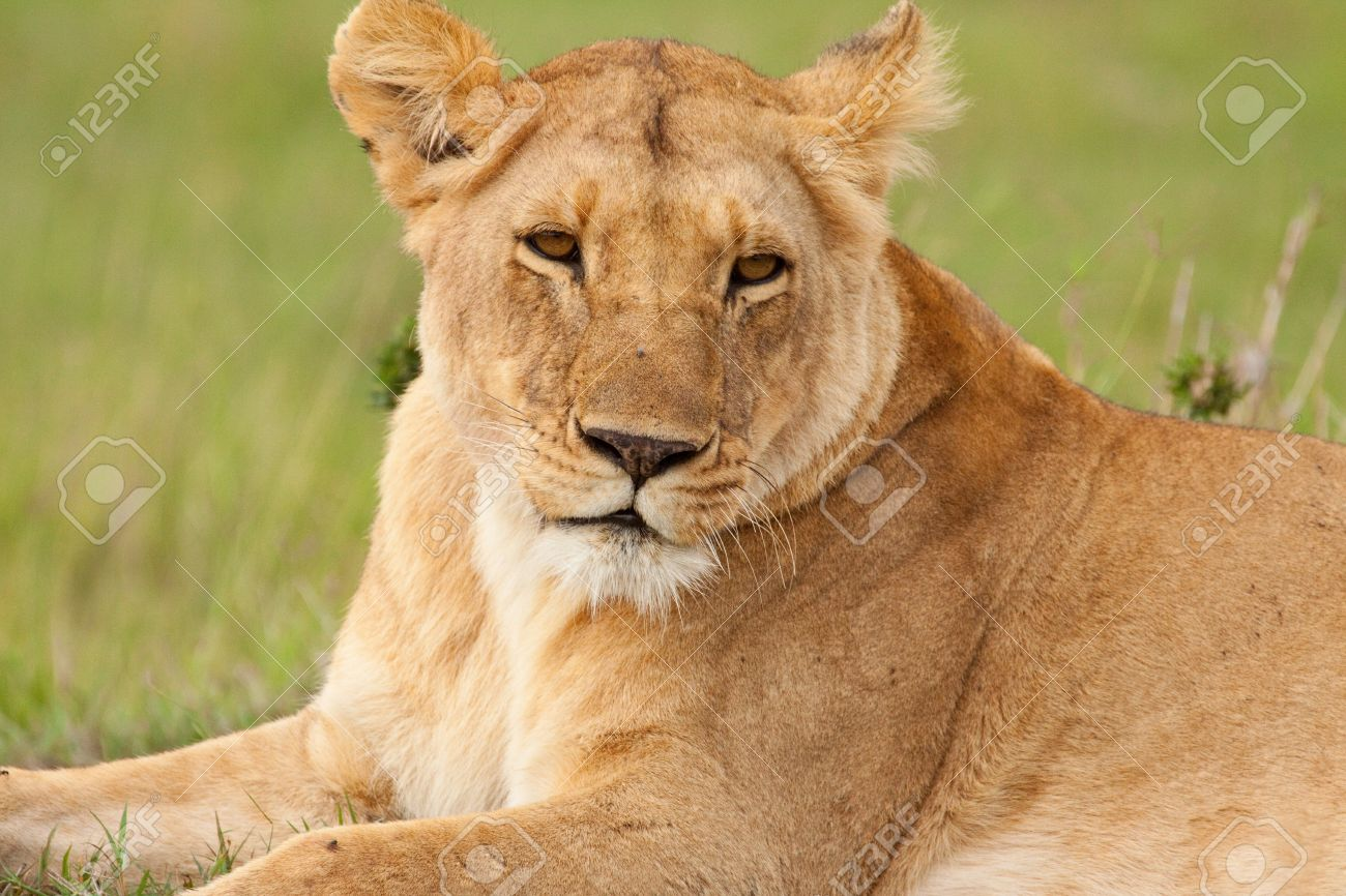 Lioness adult
