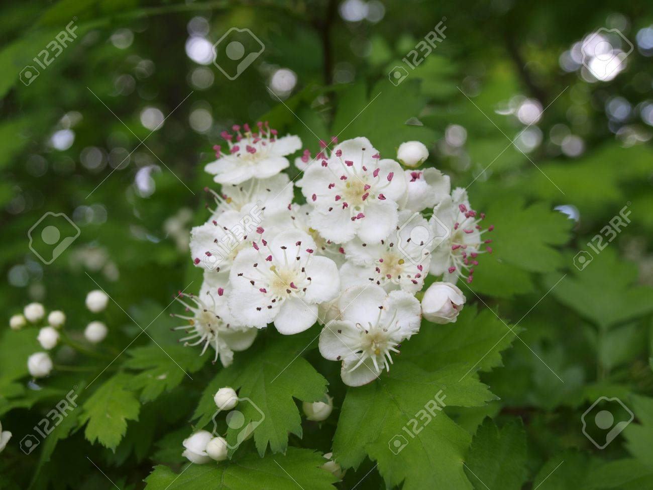 White Tree Flowers With Pink Anthers Stock Photo Picture And