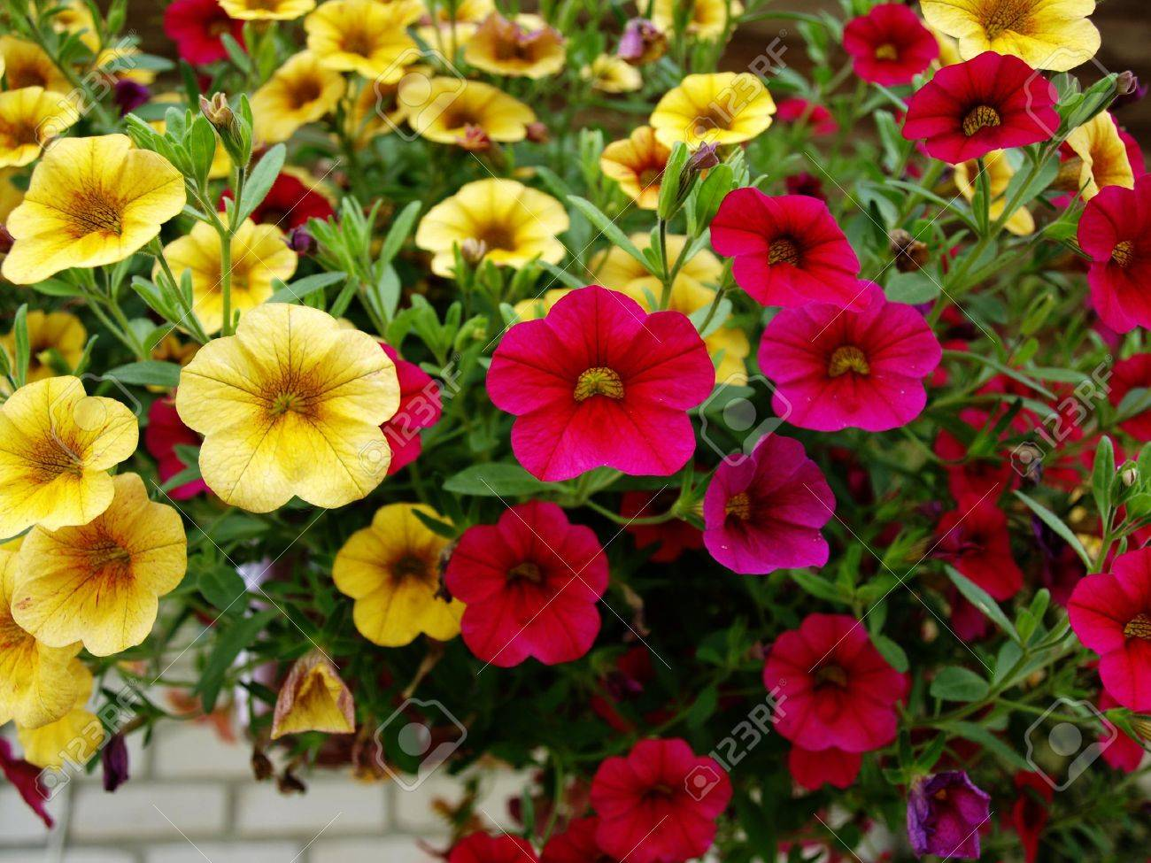 Yellow And Red Flowers Of Petunia Stock Photo Picture And Royalty
