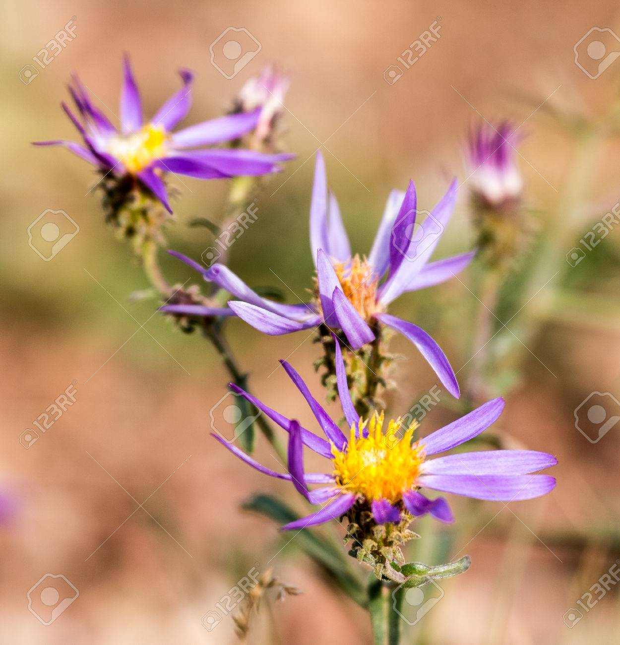 Purple Wild Flowers With Yellow Center Bloom In An Alpine Meadow