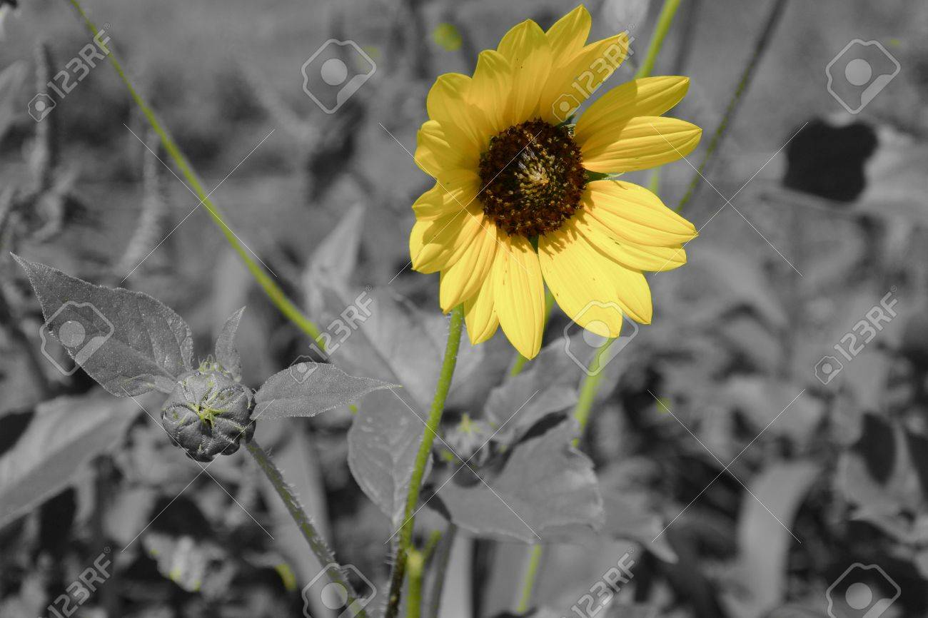 Yellow Sunflowers Stock Photo Color Selective Black And White Background