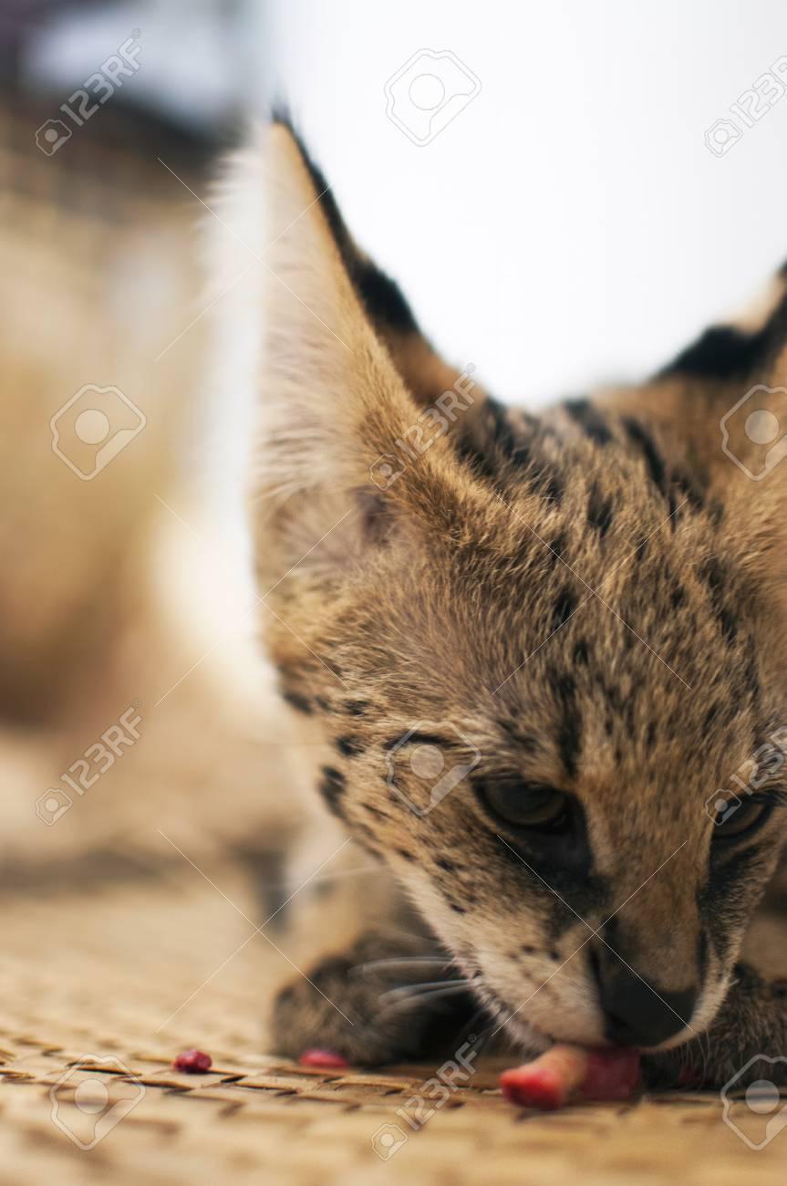 Immagini Stock - Gatto Serval Femminile (leptailurus Serval) Mangiando /  Ossa Ossee (metà Vista Laterale): Ripley Gode Di Mangiare E Danneggiare Un  Osso Di Pollo. Image 76970634.