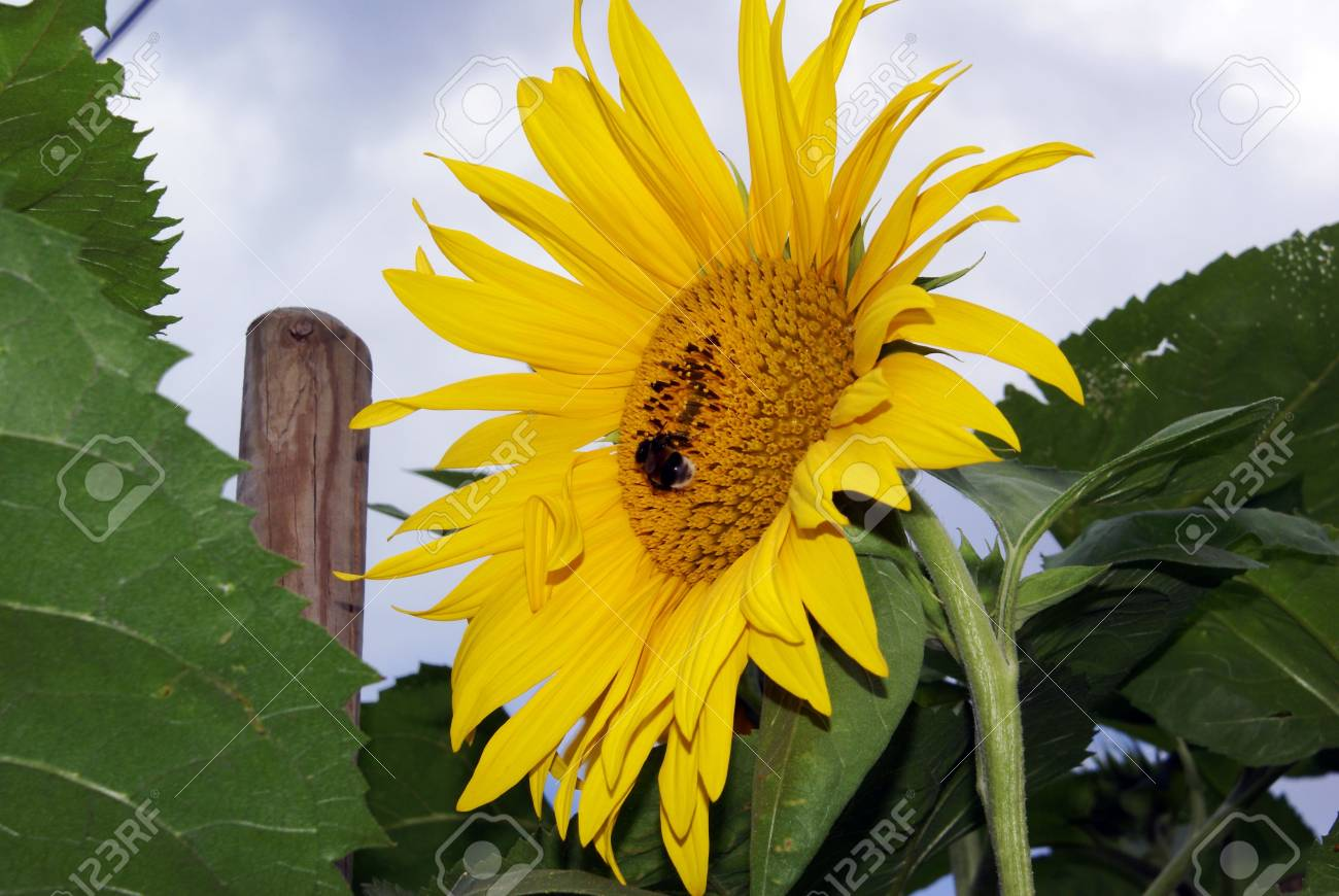 Bumblebee On A Sunflower Stock Photo - 5235982