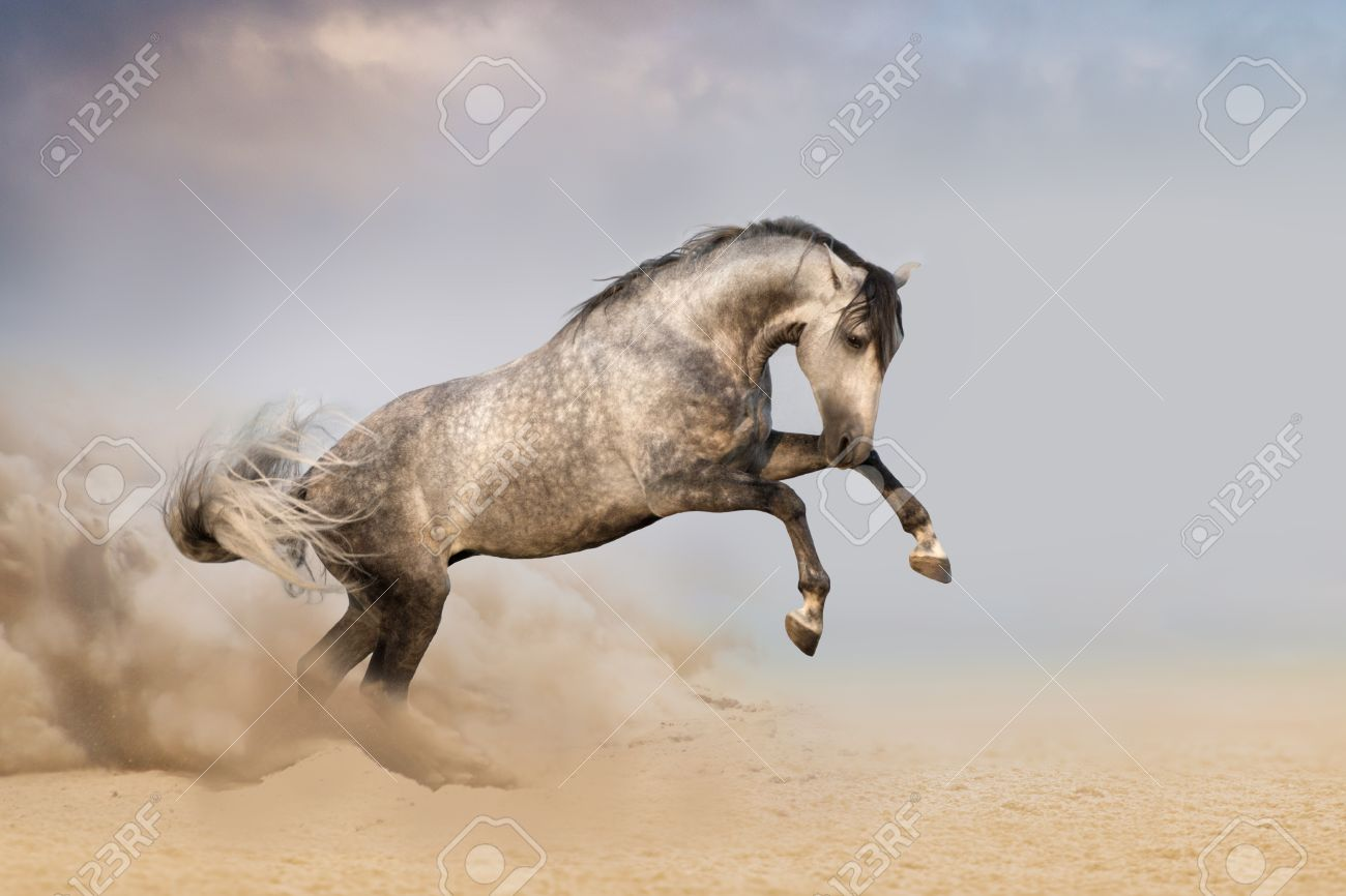 Beautifyl Grey Horse Galloping In Desert Sand At Sunset Stock Photo Picture And Royalty Free Image Image 36972110