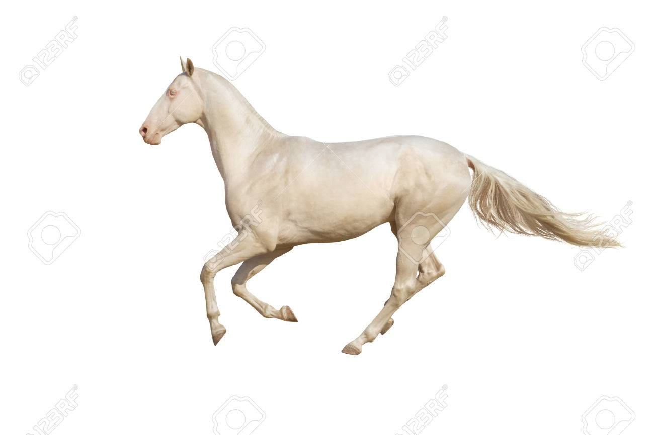 Beautiful Horse Run Gallop On White Background Stock Photo Picture And Royalty Free Image Image 36945734