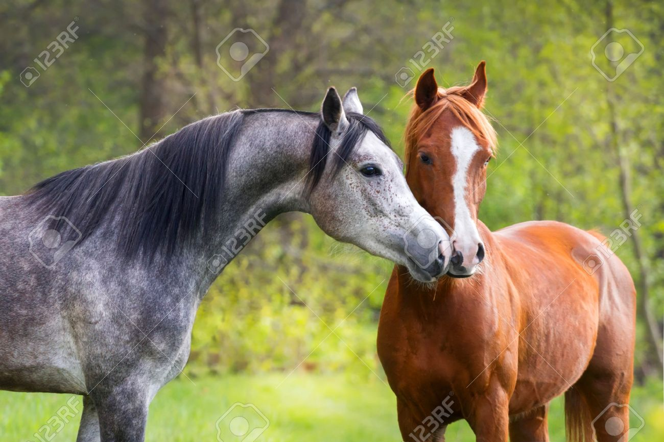 Beautiful Red And Grey Colour Arabian Horse Couple In Love Stock Photo Picture And Royalty Free Image Image 40402819