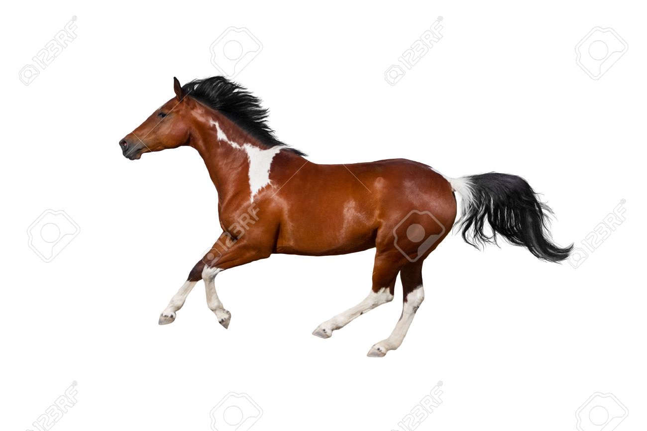 Pinto Horse Run Gallop On White Background Stock Photo Picture And Royalty Free Image Image 43965933