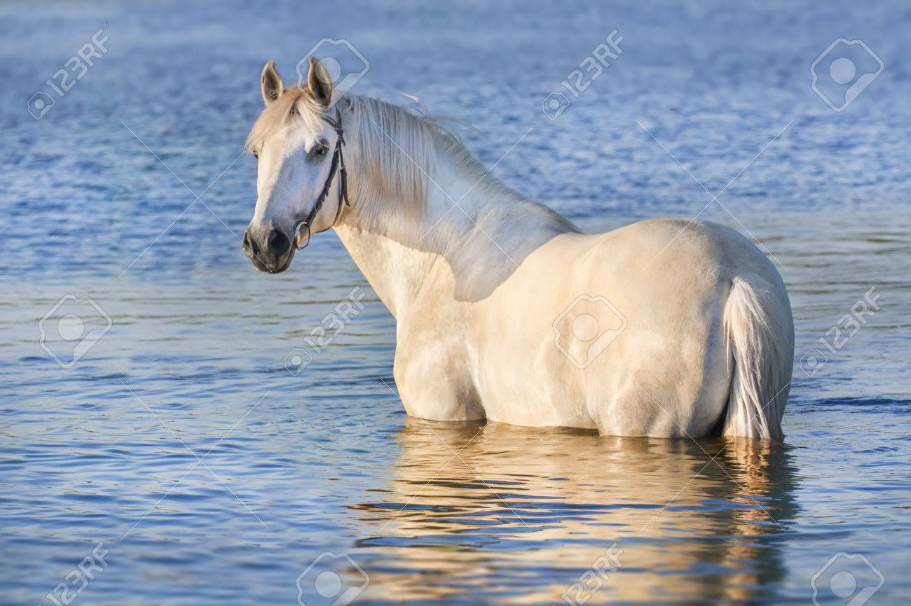 Portrait Of Beautiful White Horse In Blue Water Stock Photo Picture And Royalty Free Image Image 43788468