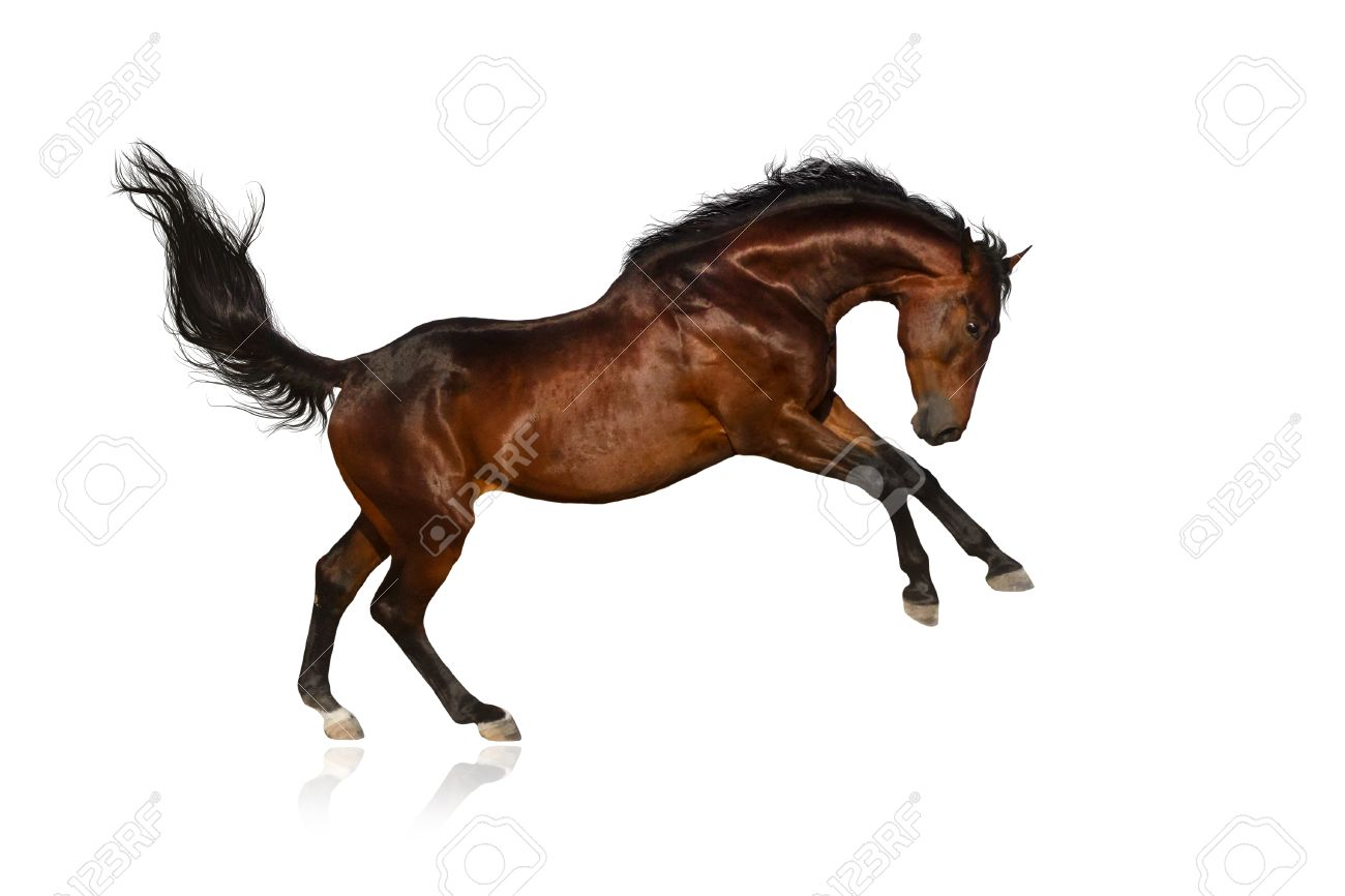 Beautiful Bay Horse Jump On White Background Stock Photo Picture And Royalty Free Image Image 44704394