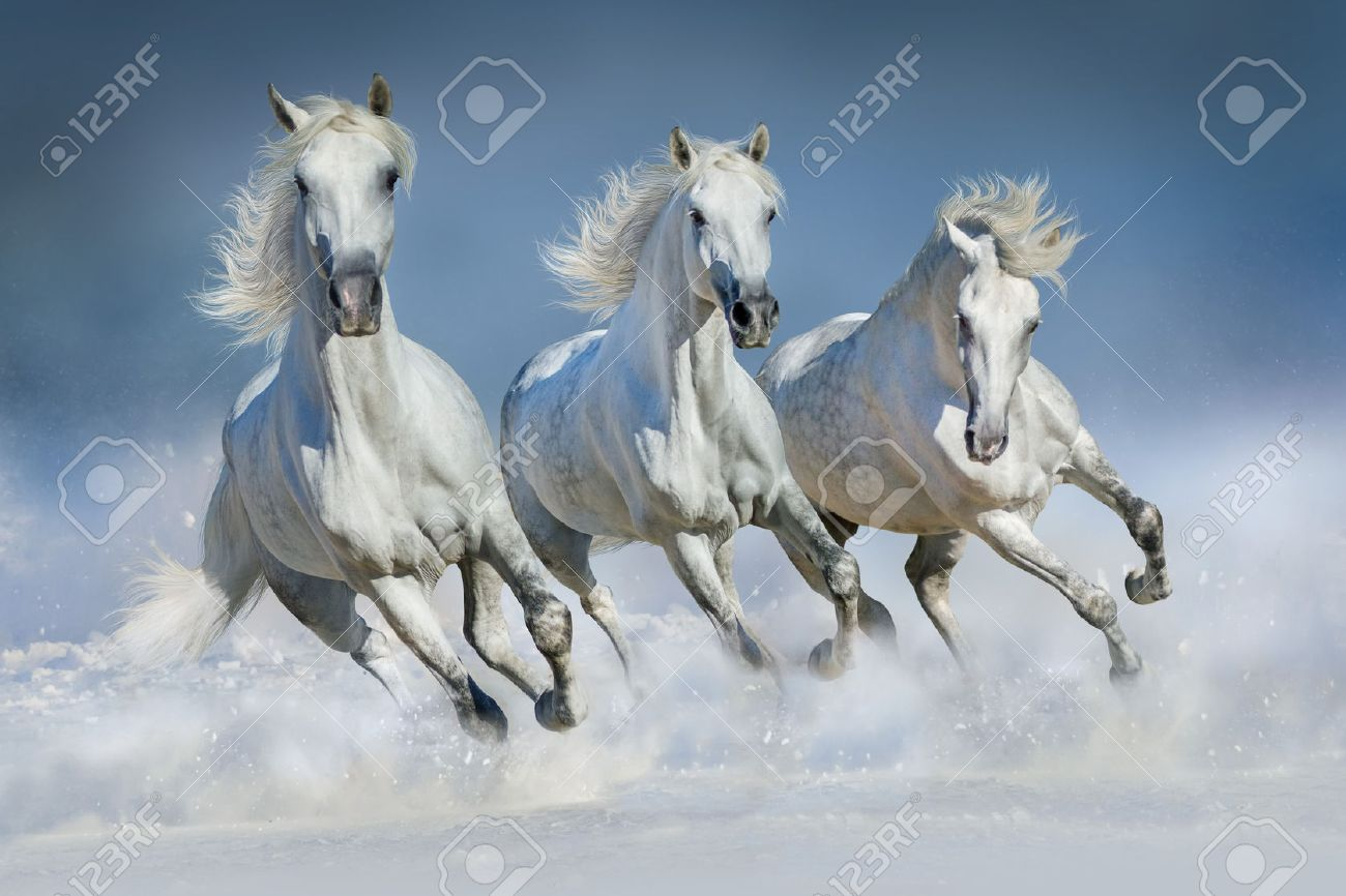 Three White Horse Run Gallop In Snow Stock Photo Picture And Royalty Free Image Image 48094244
