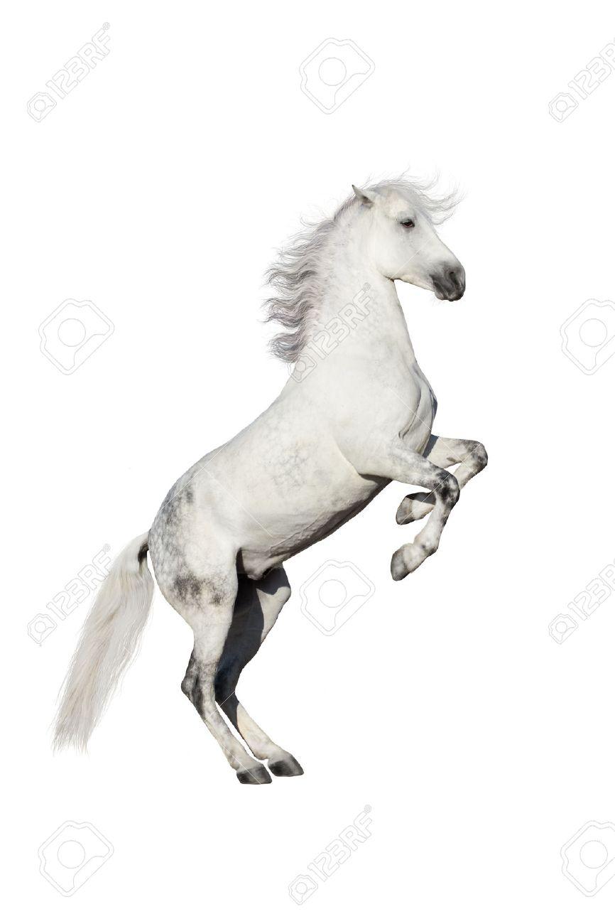 White horse rearing up isolated on white background - 51168672