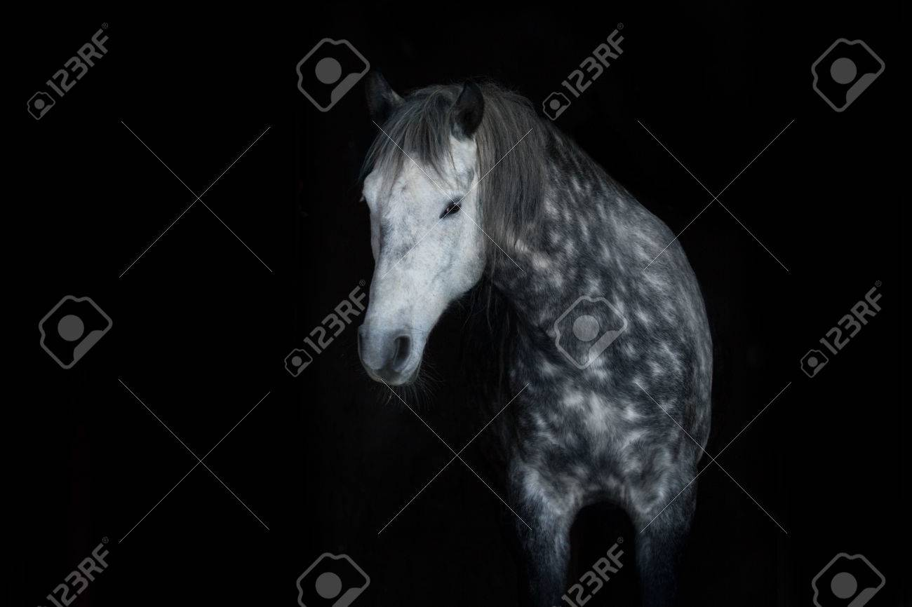 Grey Horse Portrait On Black Background Stock Photo Picture And Royalty Free Image Image 51251426