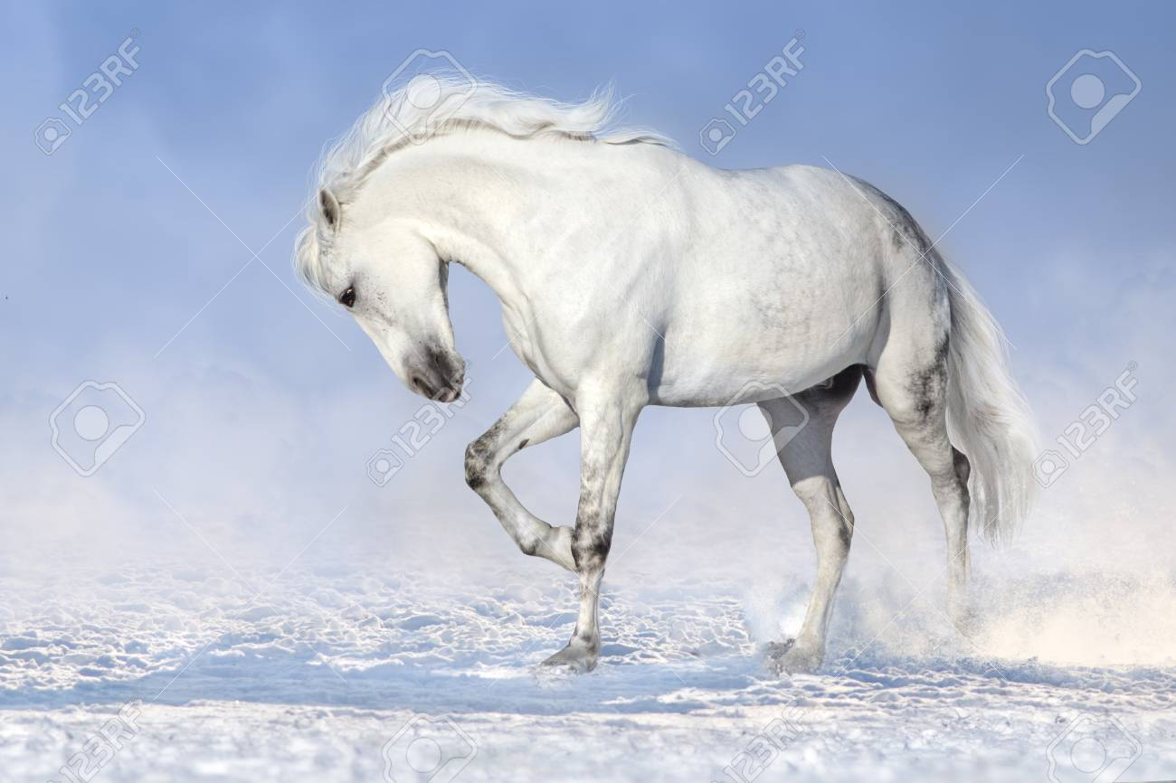 Beautiful White Horse Run In Snow Field Stock Photo Picture And Royalty Free Image Image 88336157
