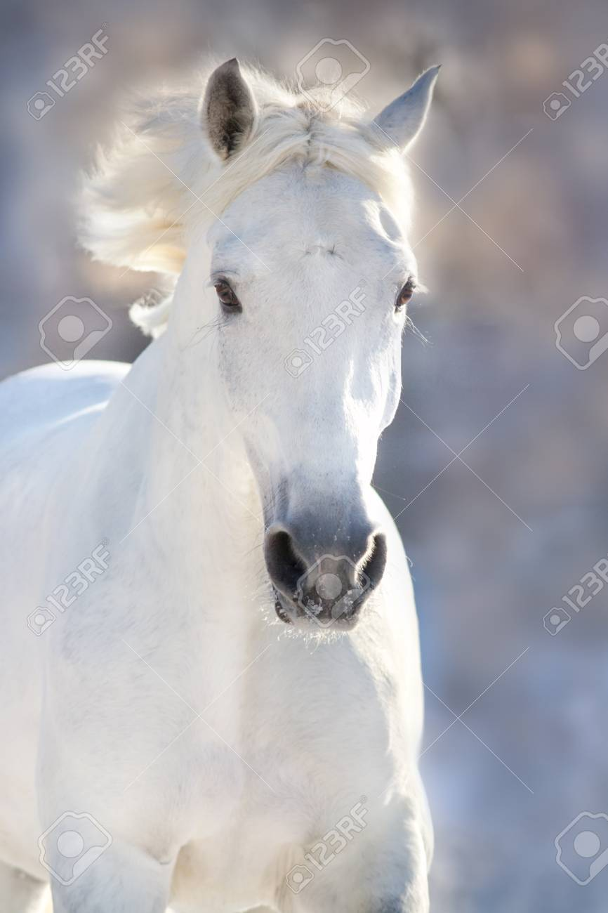White Horse Portrait In Motion In Winter Frost Day Stock Photo Picture And Royalty Free Image Image 88336162