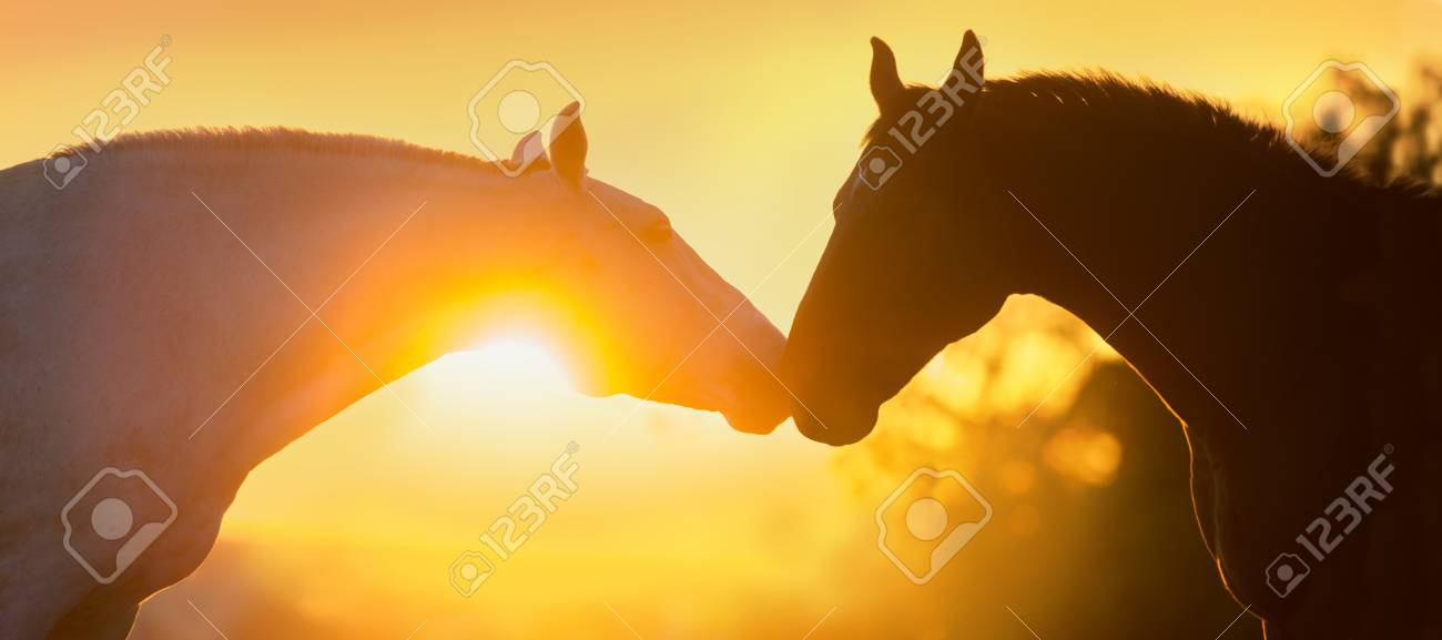Two Beautiful Horse Portrait Silhouette At Sunset Light Stock Photo Picture And Royalty Free Image Image 88336178