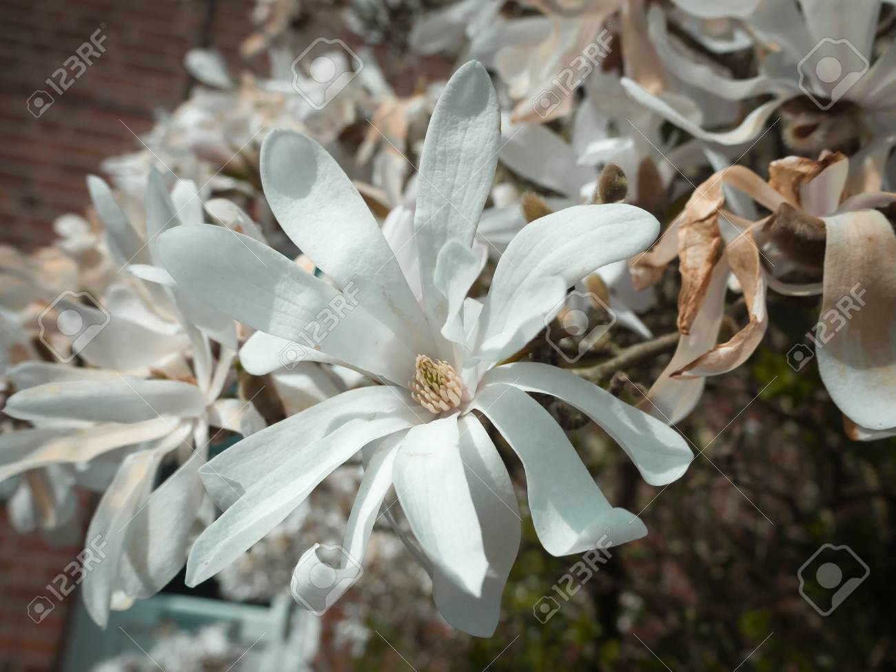 White Magnolia Flower Head In The Spring Light Stock Photo Picture