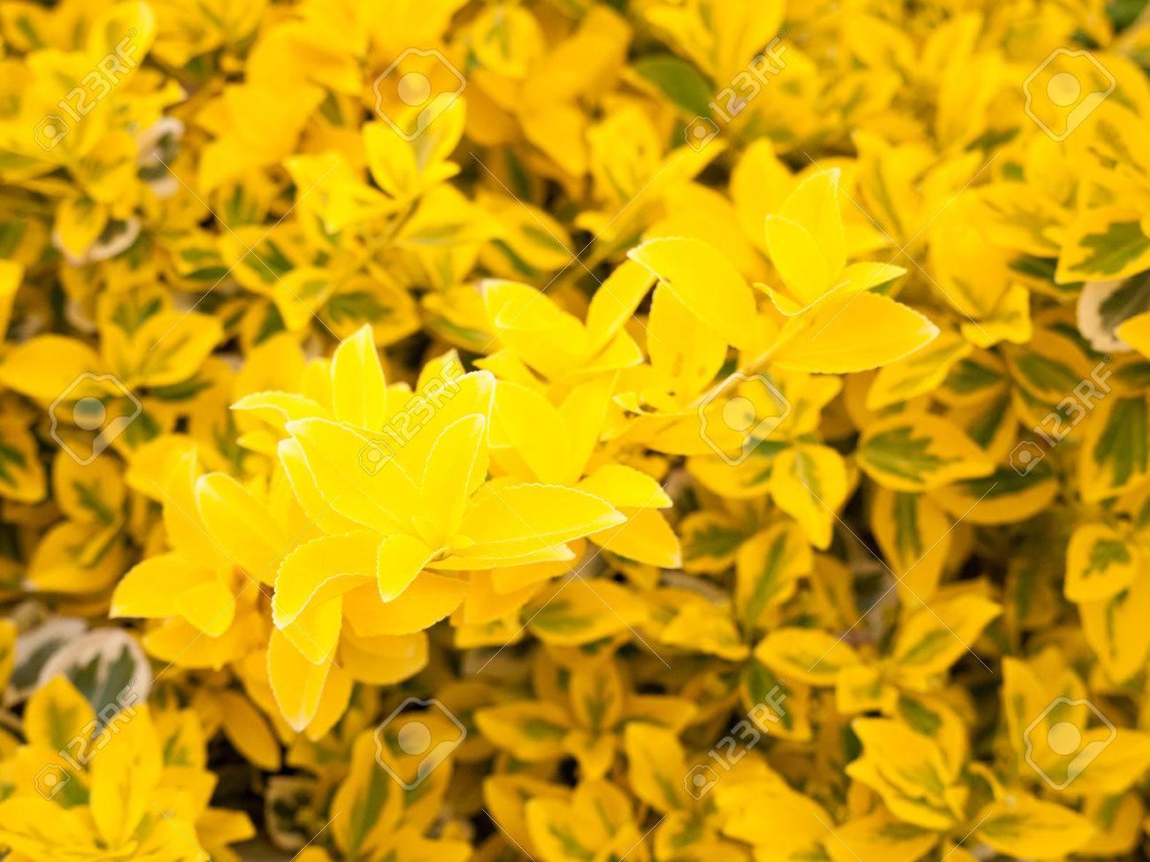 Lovely Yellow Flower Bush Shrub In The Golden Sunlight And Shine