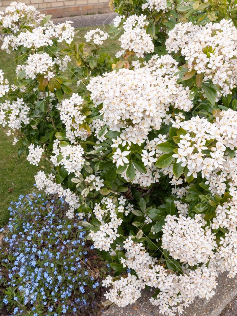 Beautiful bush of bunches of white flower heads in spring light beautiful bush of bunches of white flower heads in spring light with some small blue flower mightylinksfo