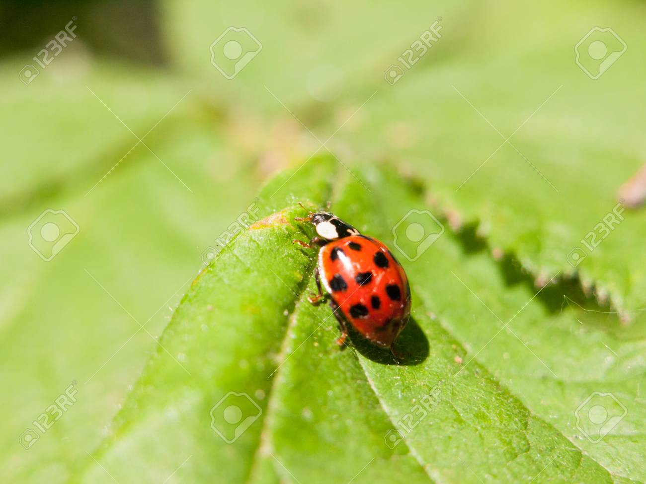 A Beautiful Ladybird Walking Across A Leaf Outside Macro Close