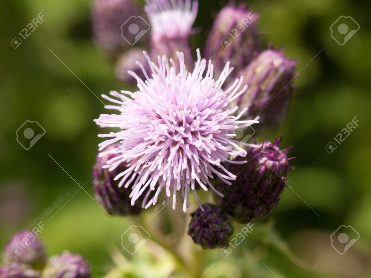 A Small Growing Pink And Purple Thistle Flower Spiky Outside Stock
