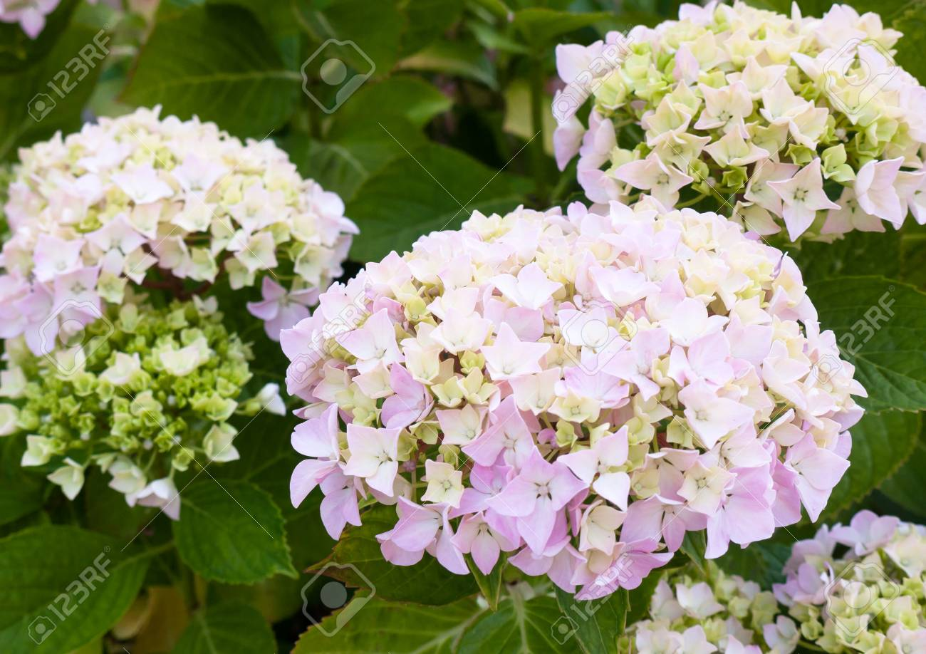 Beautiful White Hydrangea Flower Heads With Green Leaves Background