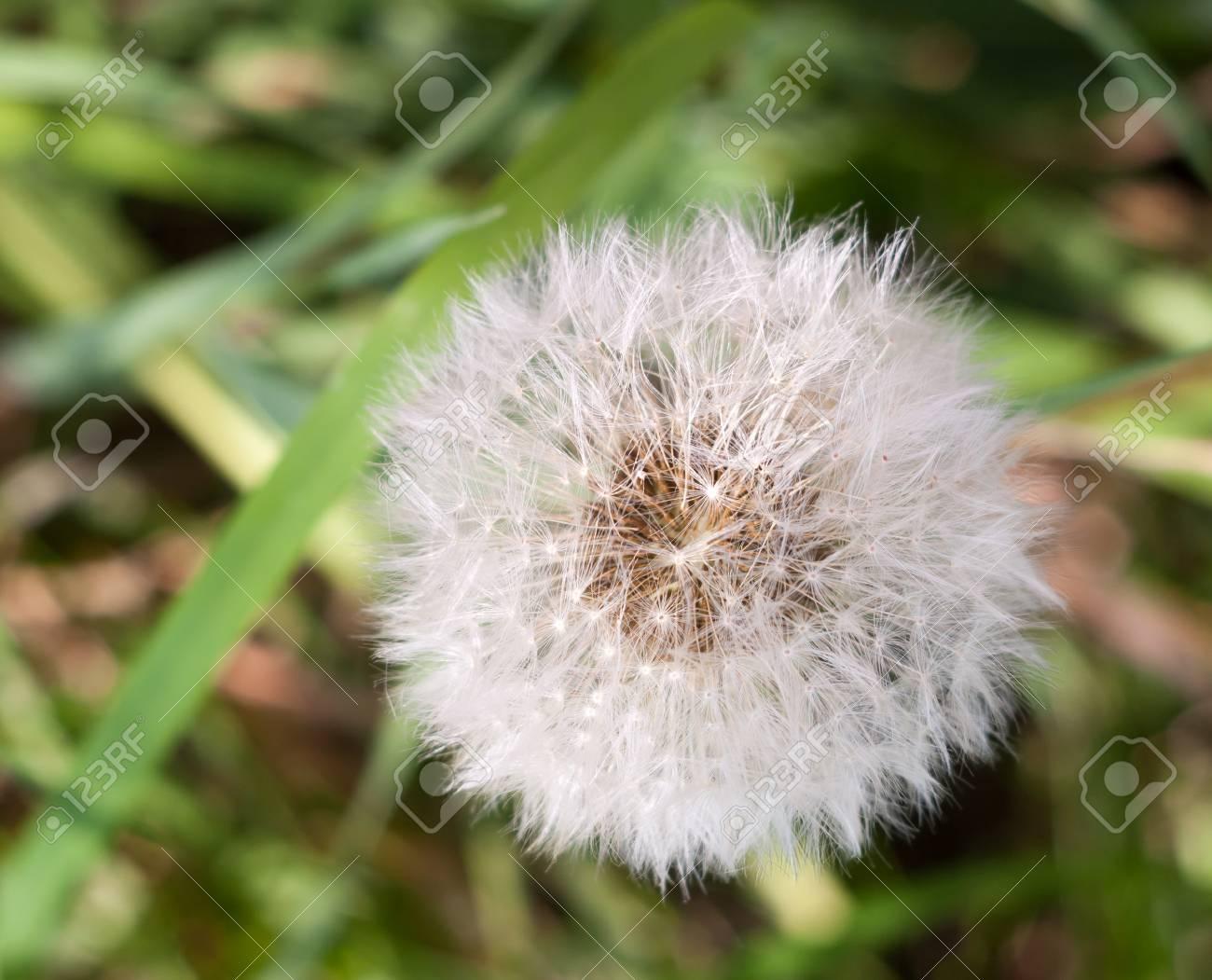 White Flower Head Seeds Full Of Dandelion Taraxacum Officinale