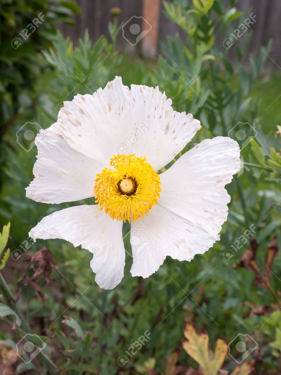 Beautiful White Flower Head Big Petals And Yellow Centre Essex