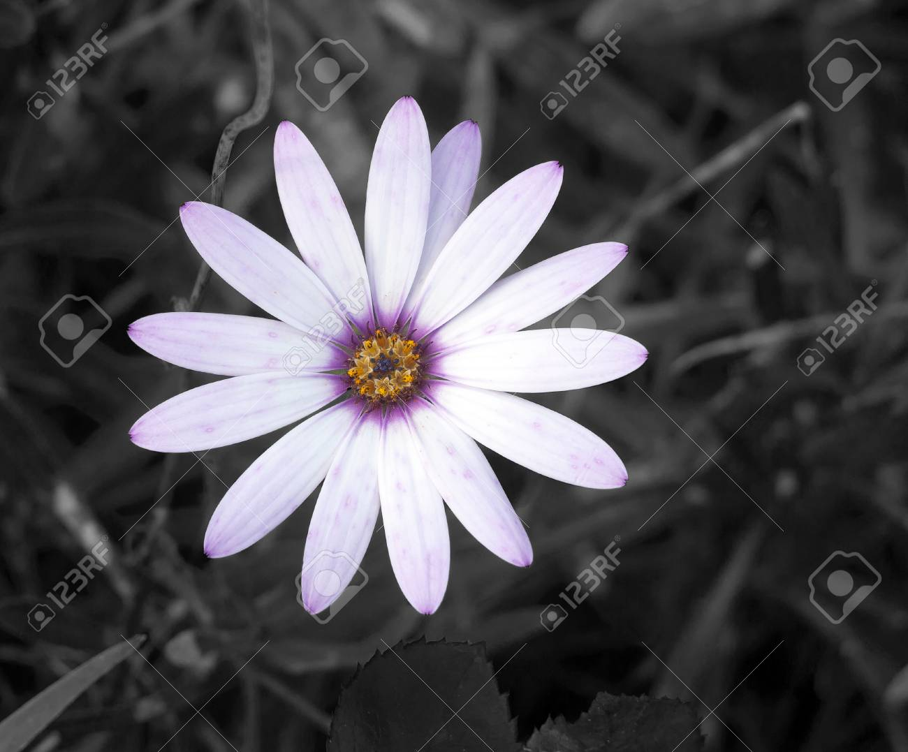 White Daisy Flower Petals Full Open Top View Essex England