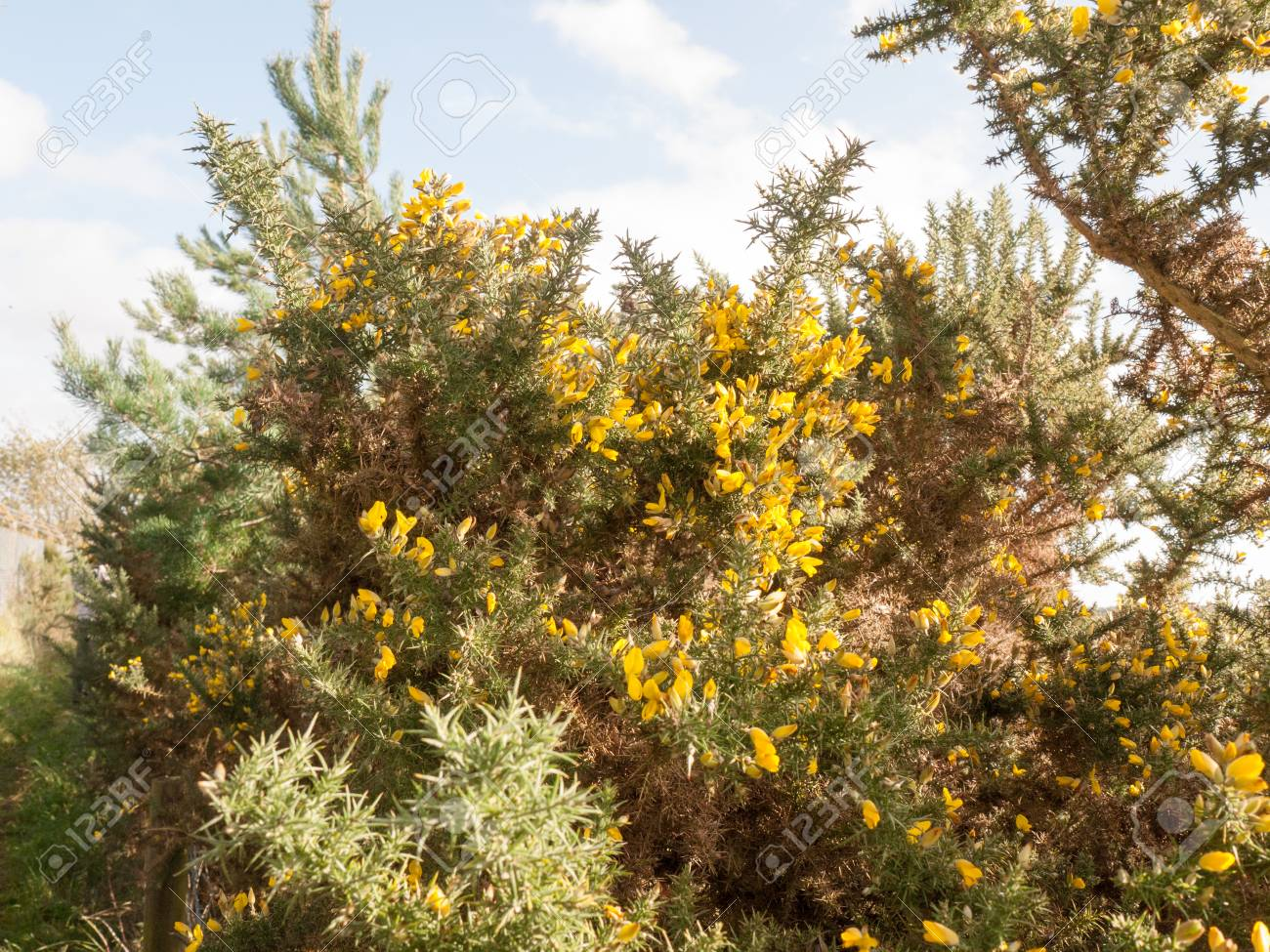 Beautiful Stunning Growing Yellow Bright Gorse Flowers On Spiky