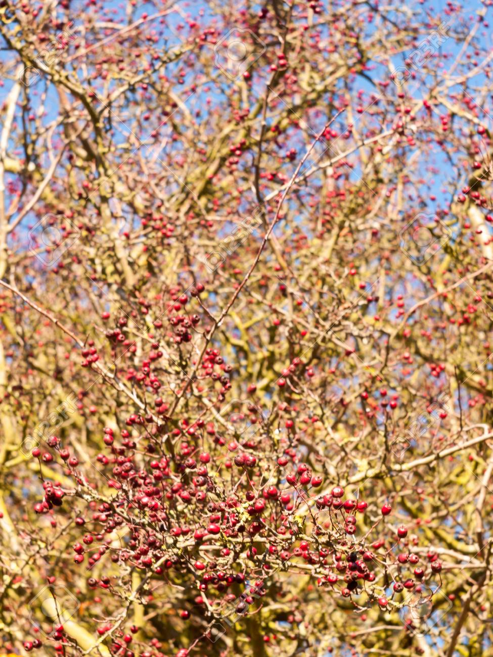 Red Berries On Bare Branch Of Tree In Autumn Outside Essex
