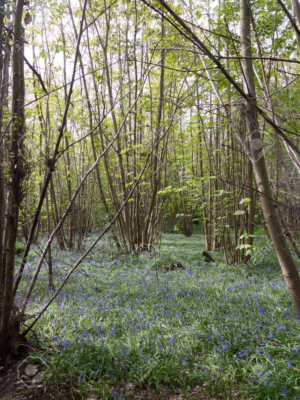Inside Forest Woodland Spring With Blue Bells Flowers Across Stock