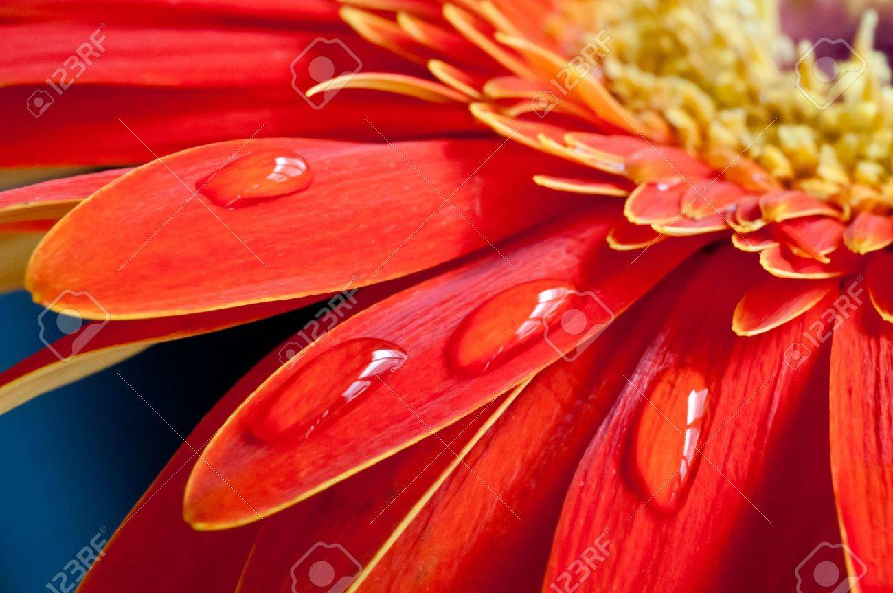 Red gebera flower close up with water drops on the petal Stock Photo - 11150860