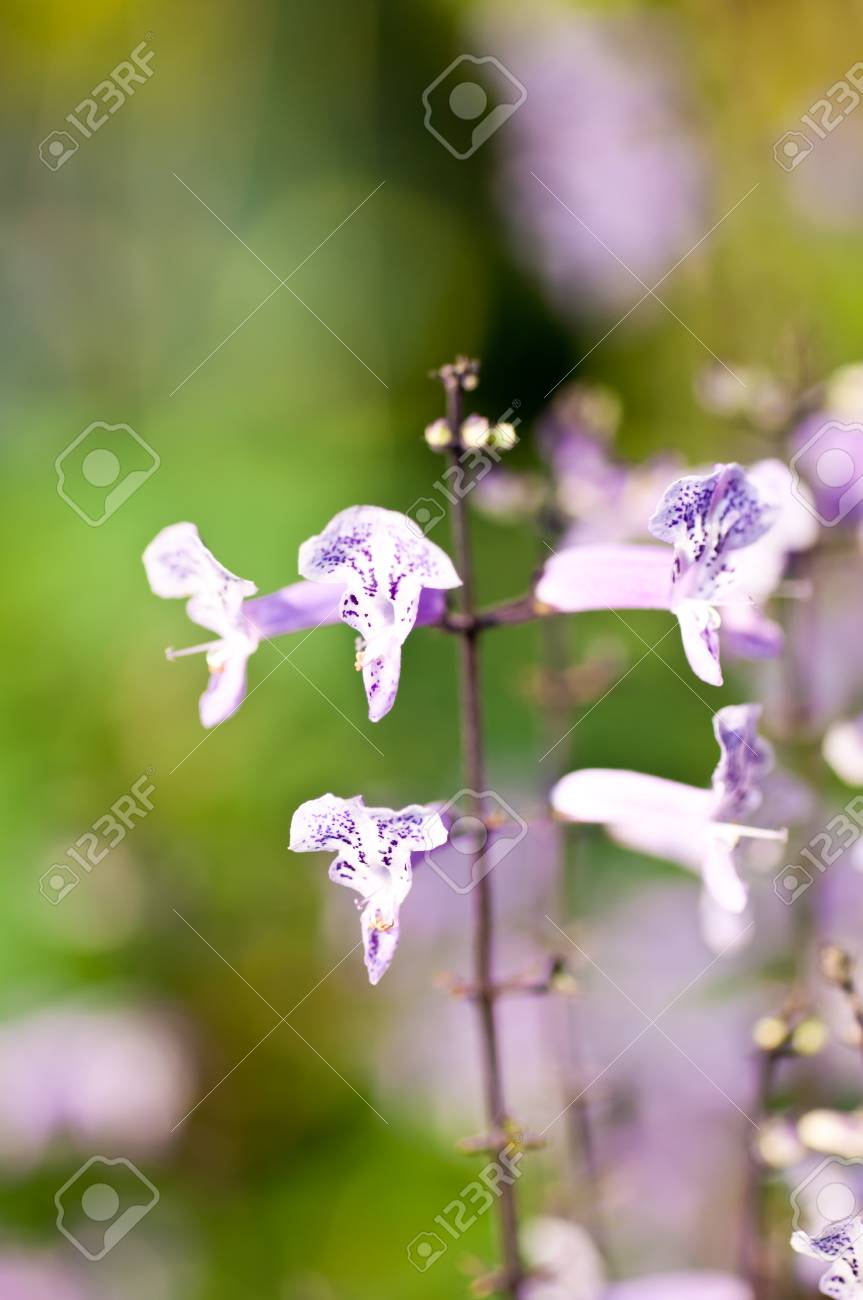 Small Purple And White Tropical Flowers In The Garden Stock Photo