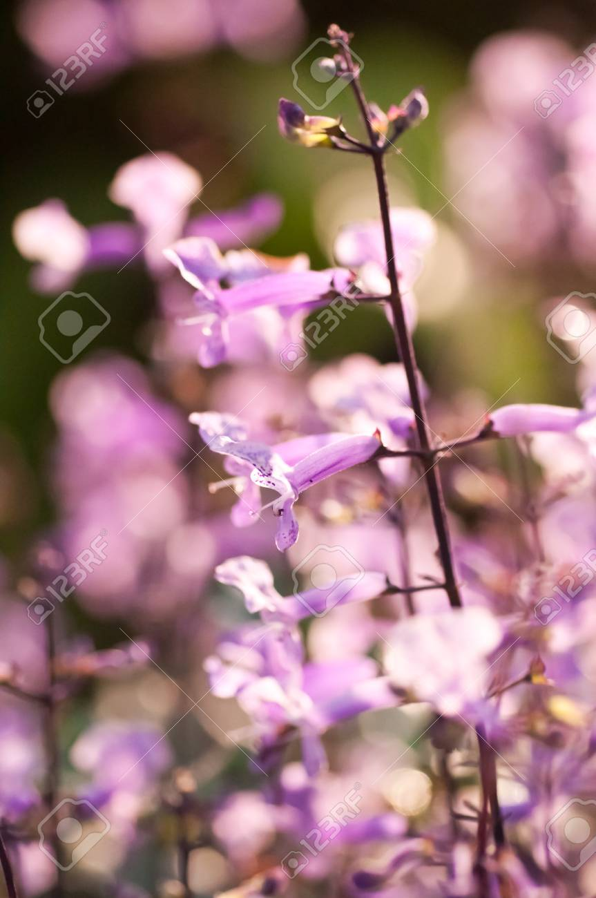 Small Purple And White Flowers On A Sunny Day In The Garden Stock