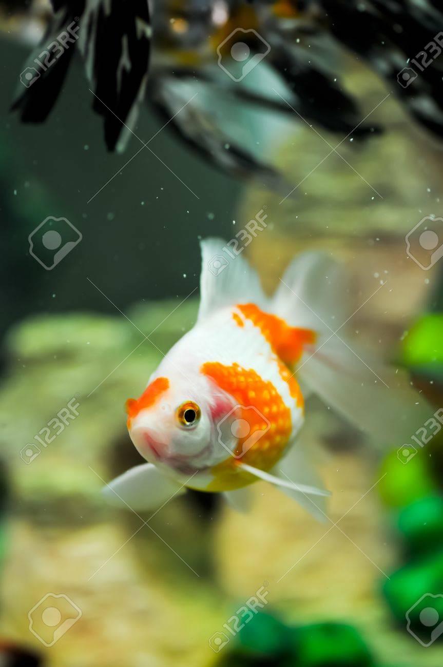 Pearlscale oranda goldfish in a fish tank Stock Photo - 11744113