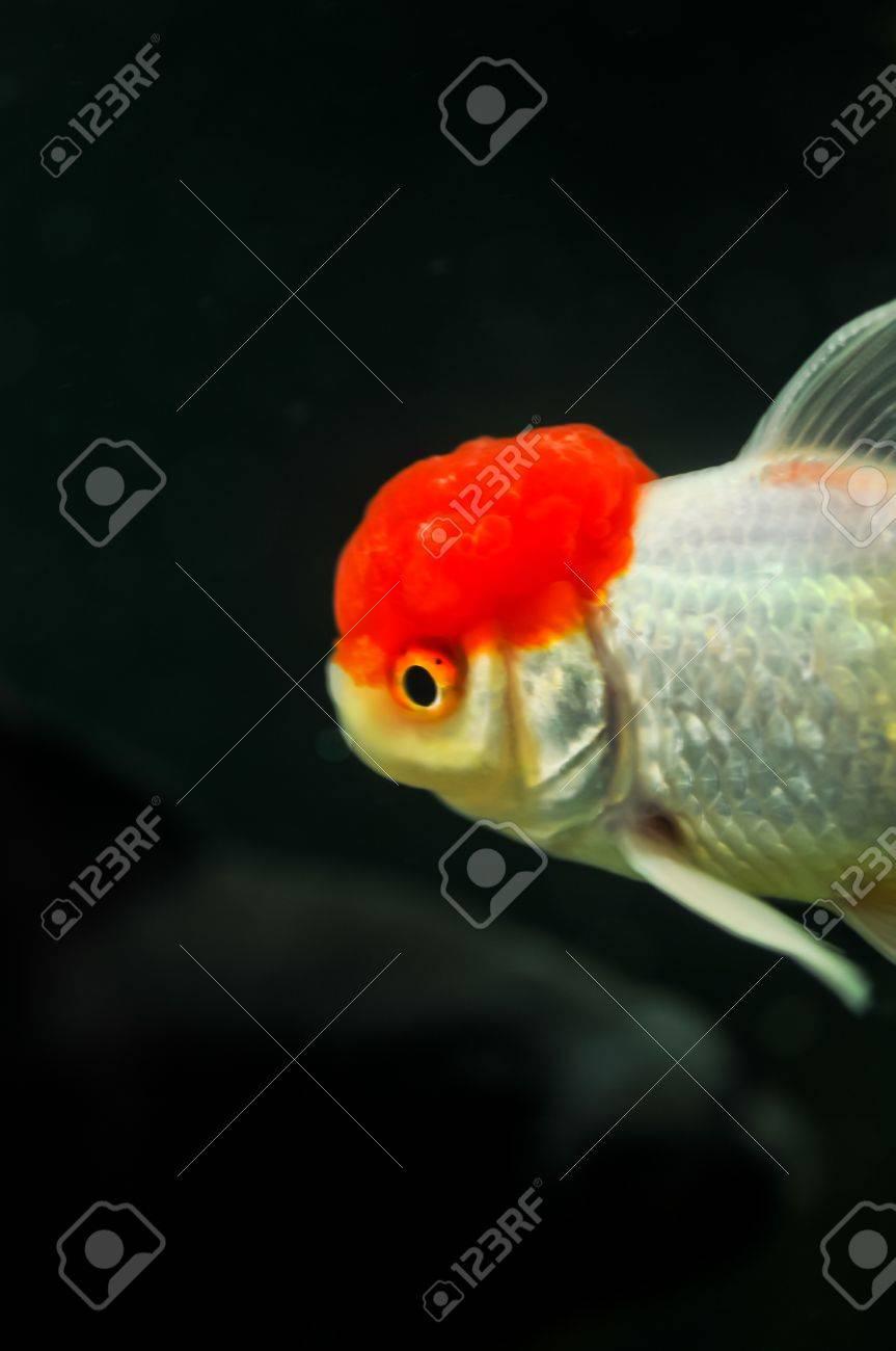 Red Cap Oranda And Black Oranda Goldfish In A Fish Tank Stock Photo ...