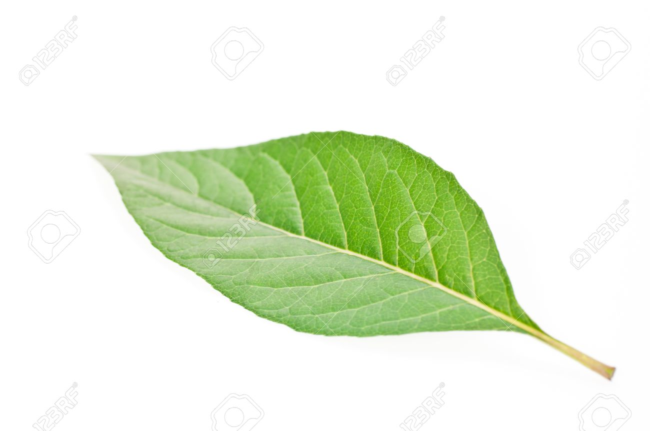 a single green leaf close up isolated over white background stock