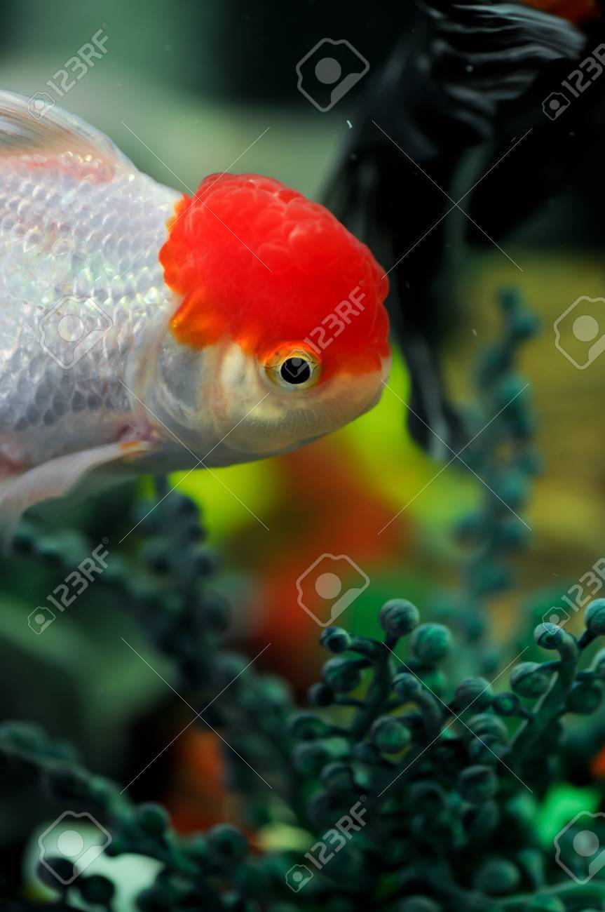 Red cap oranda swimming in a fish tank Stock Photo - 14511958