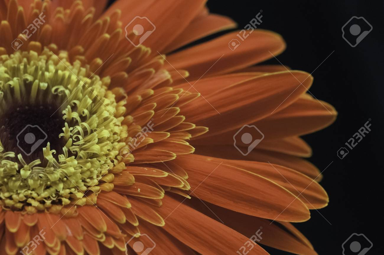 Red and yellow gerbera flower close up over black Stock Photo - 16481287