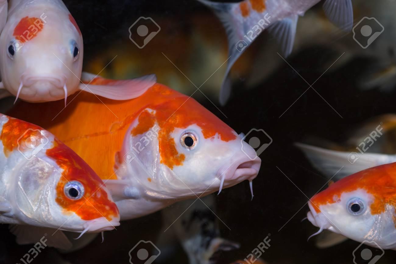Koi carp fishes background Stock Photo - 21778514