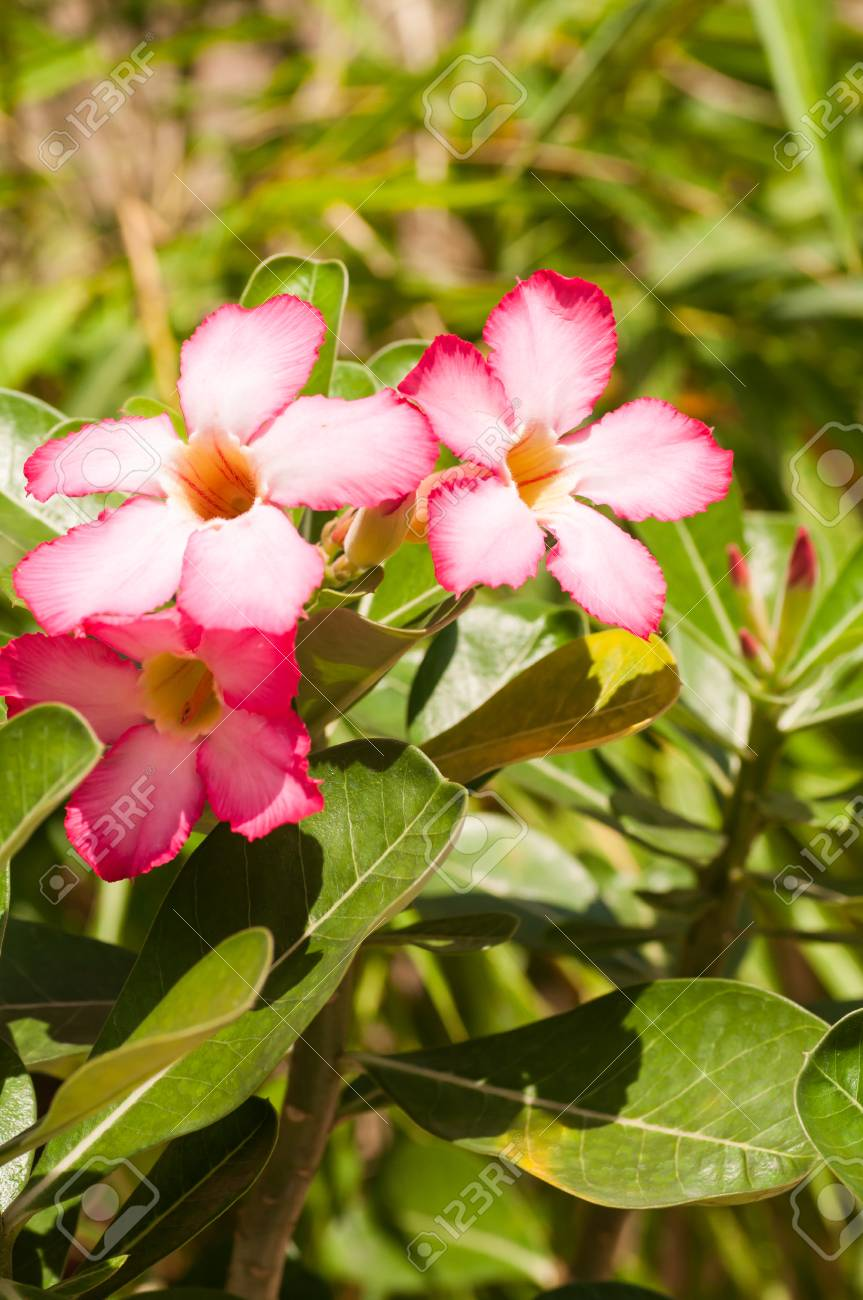 Pink Desert Rose Flowers In The Sunshine Stock Photo Picture And