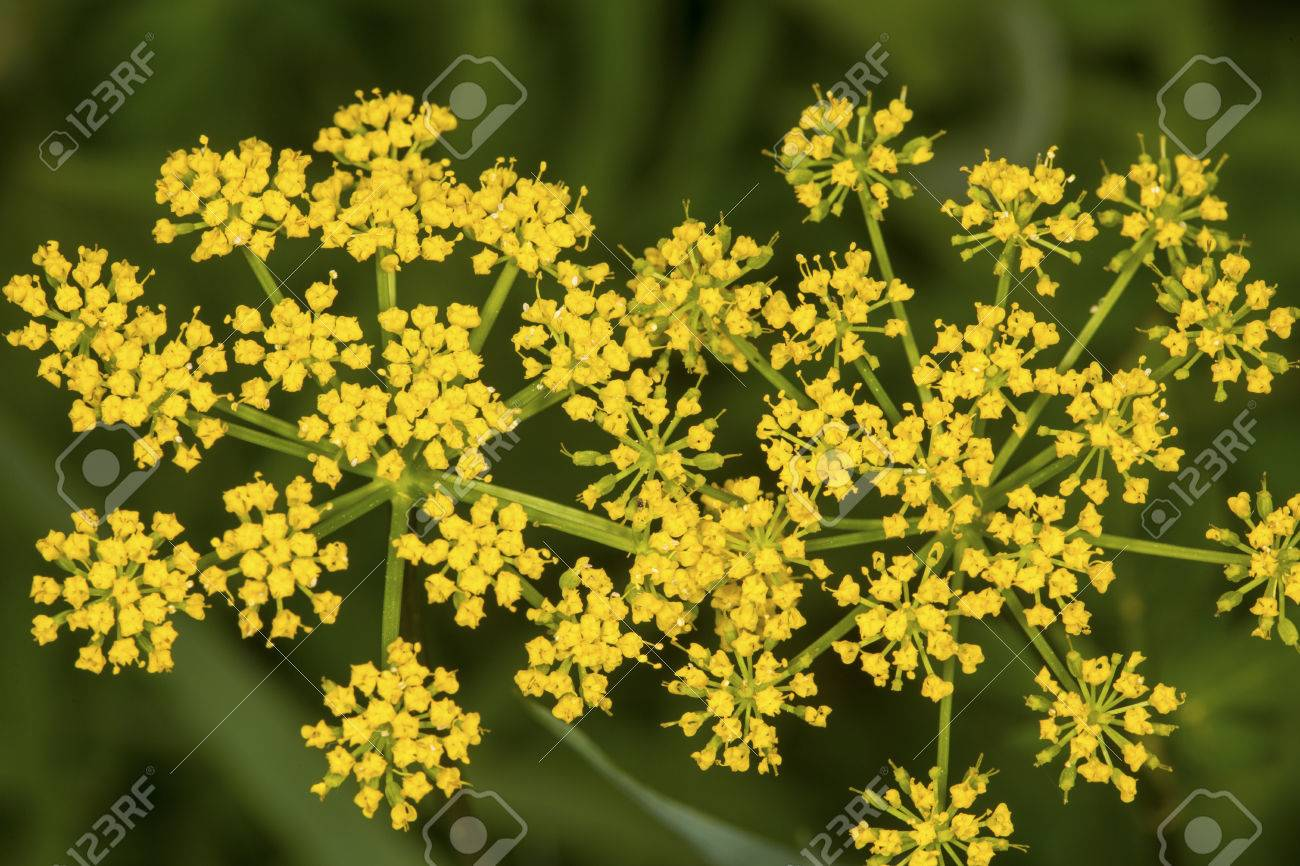 Wild Parsnip Flowers Pastinaca Sativa An Invasive Species Growing